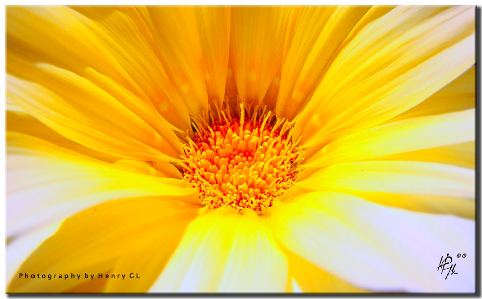HGL 154 flower-power