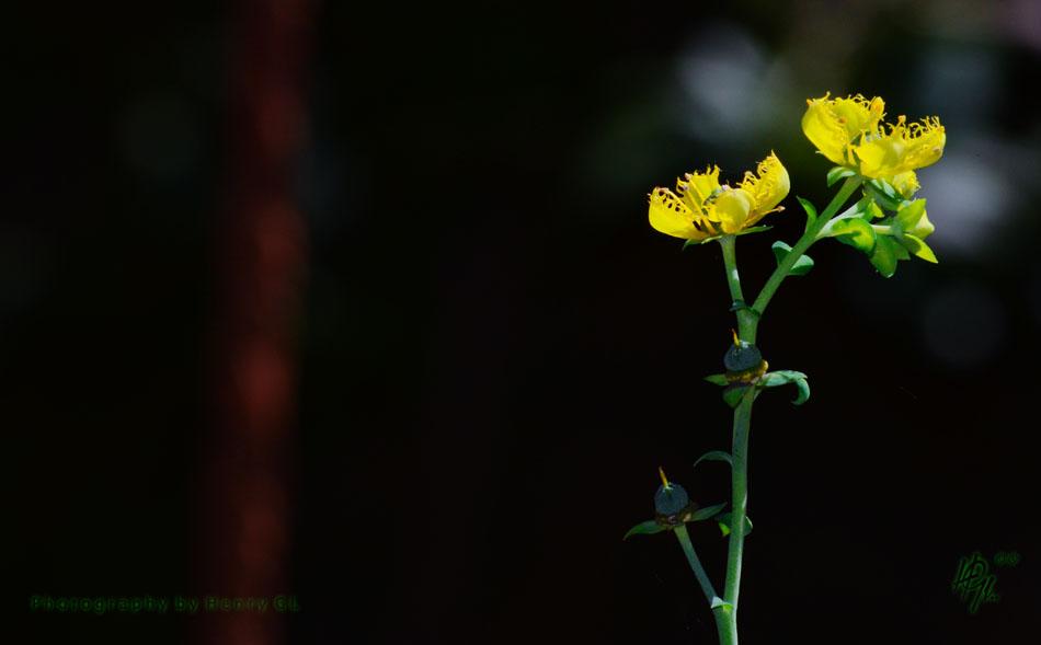 HGL Wild Flower