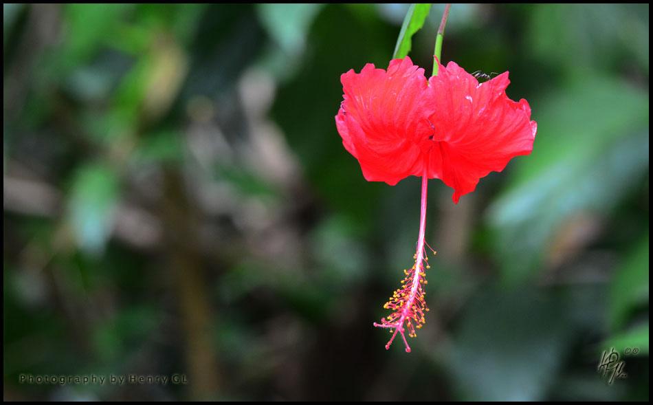 HGL-Red-Flower