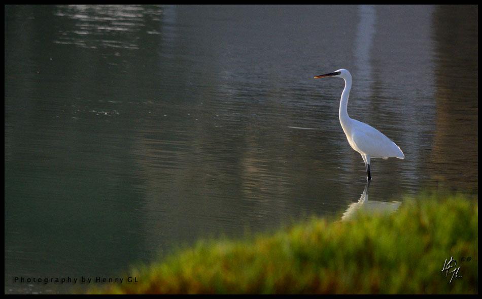 HGL-White-Crane