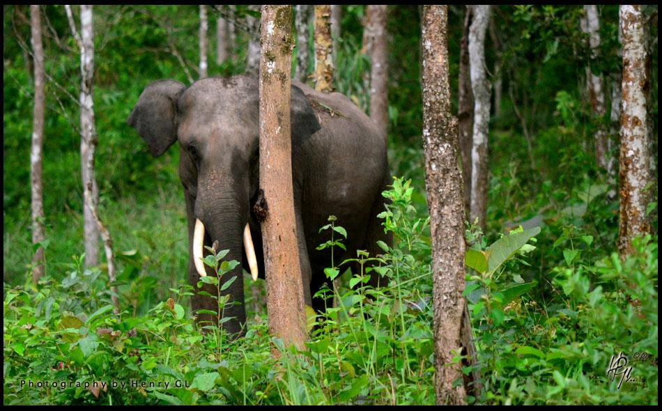 HGL-Elephant2