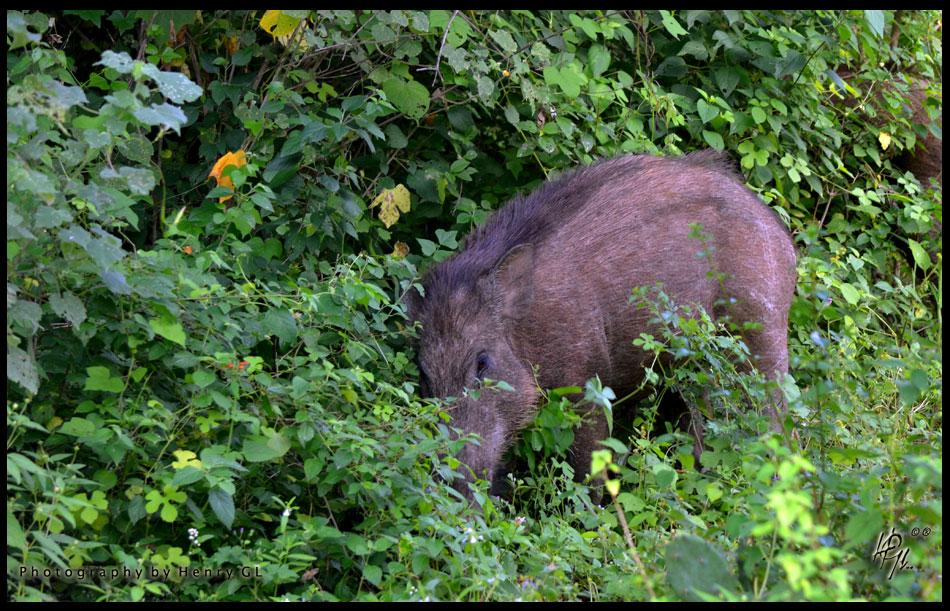 HGL-Wild-Boar
