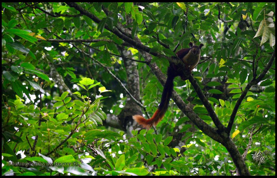 HGL-Malabar-Squirral
