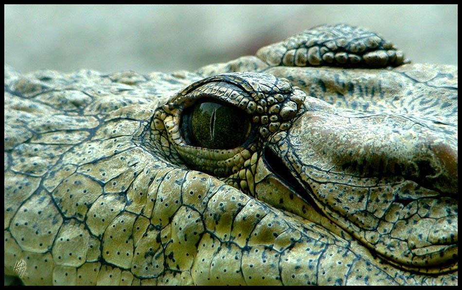 HGL-Croc-Eyes
