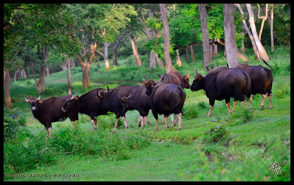 HGL-Indian-Gaur family