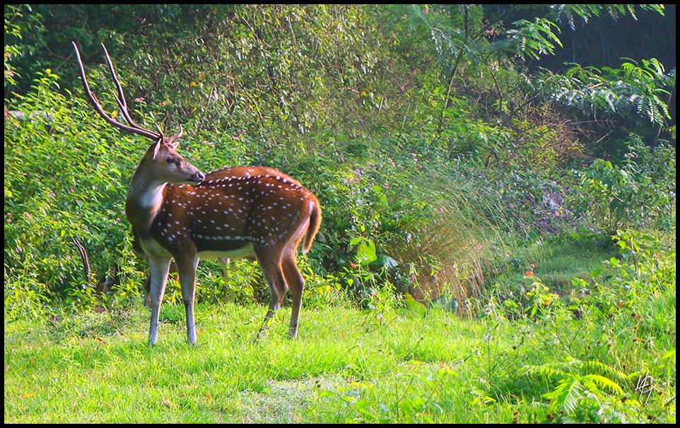 HGL-Deer-Male
