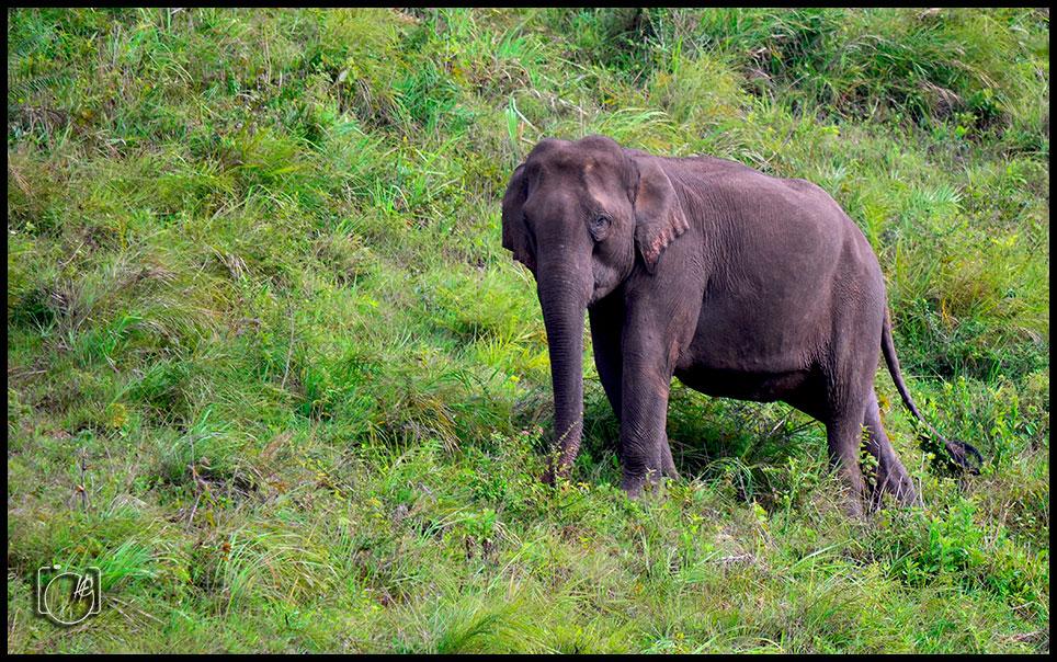 HGL-Elephant-wild