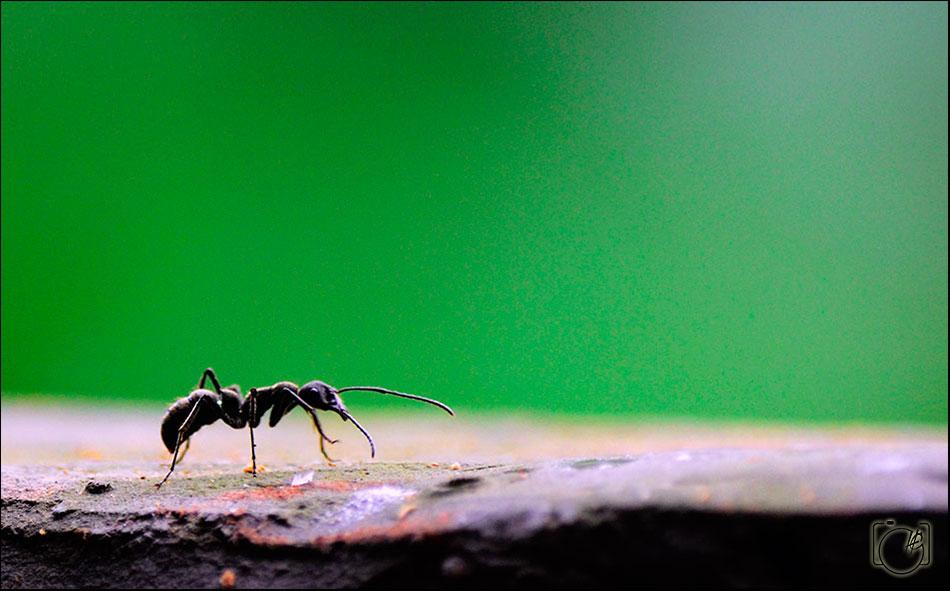 HGL-Ant-Walk