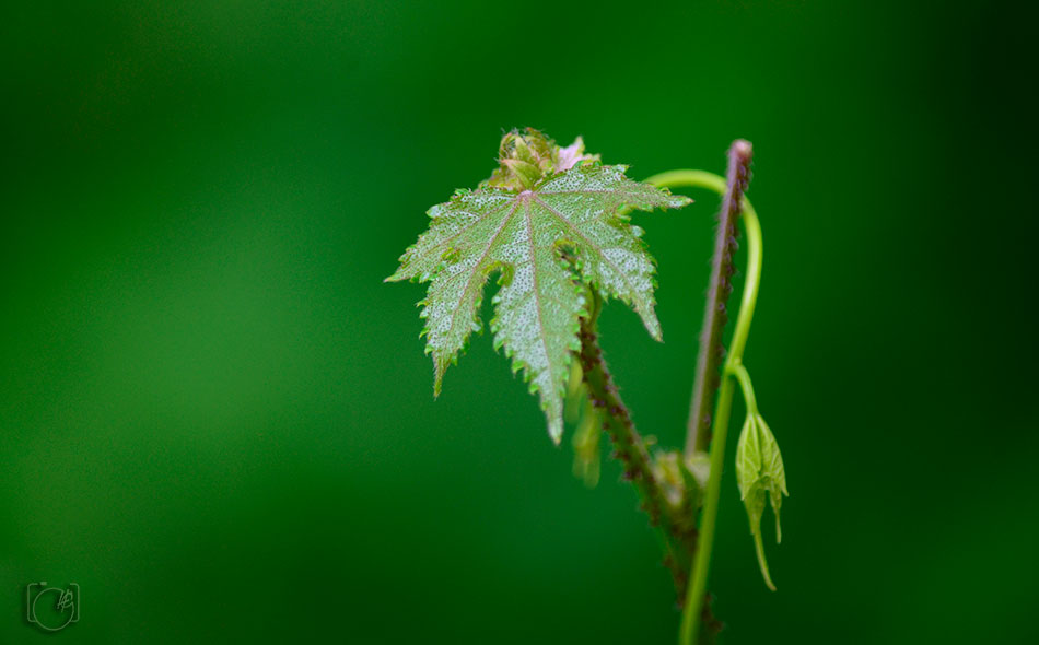 HGL-Green-Leaf