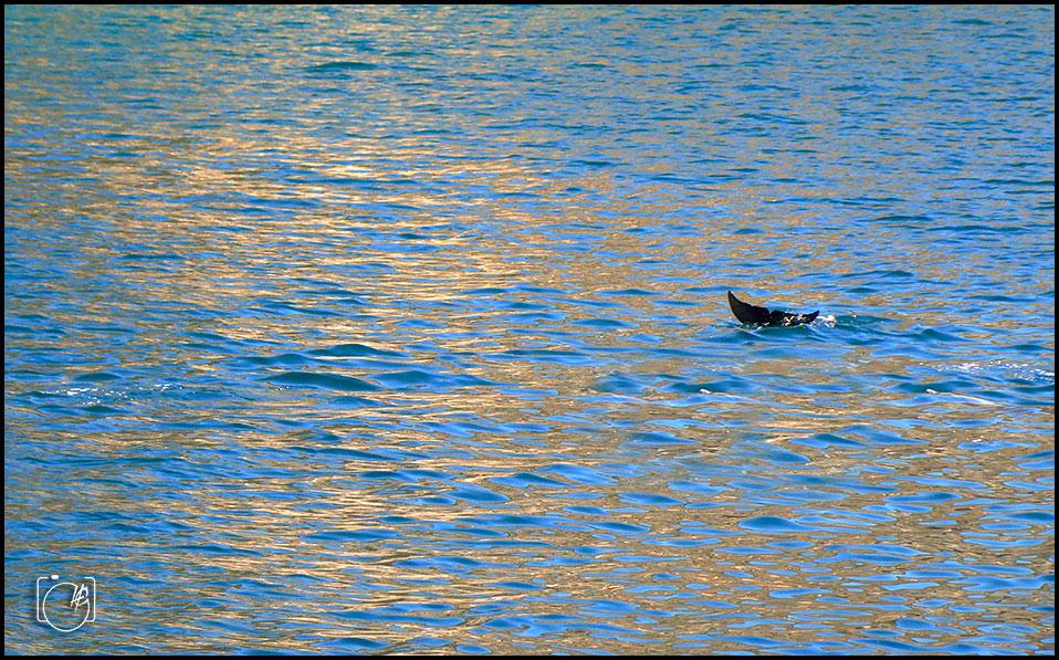 HGL-Blue-Water-Dolphin-tale
