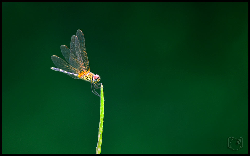 HGL-Dragonfly