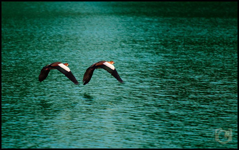 HGL-Bird-duck-flight