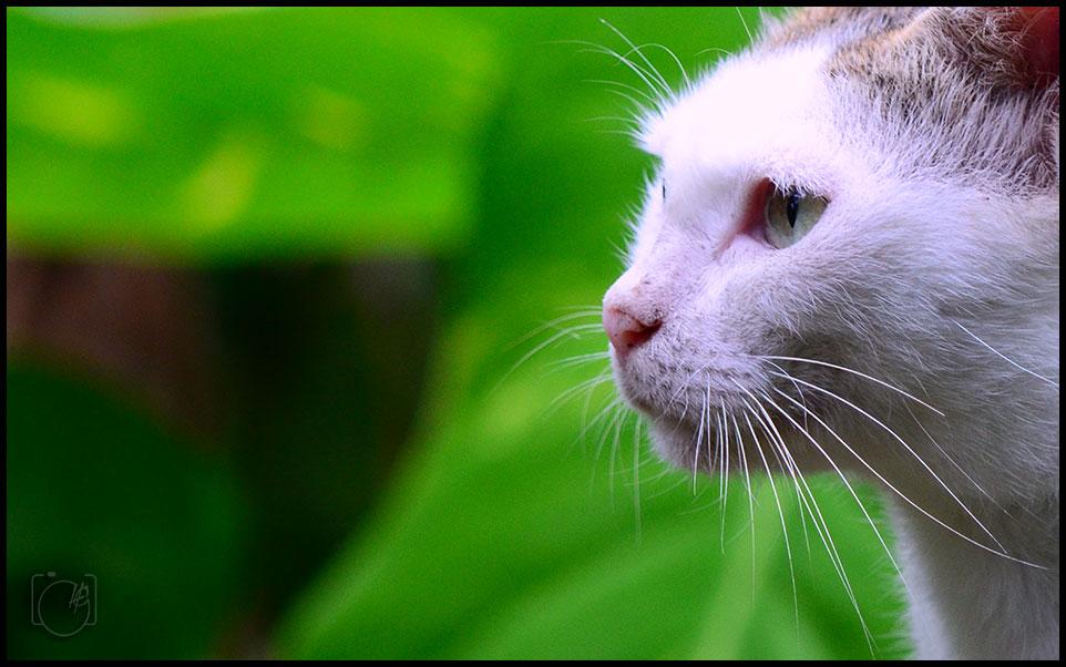 HGL-Cat-eye