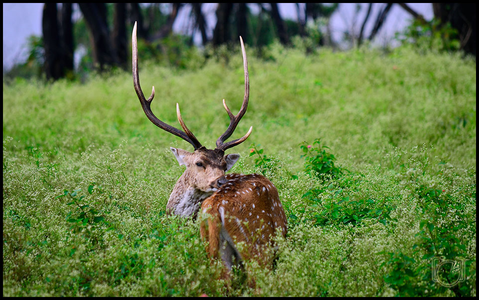 HGL-Deer-Male2
