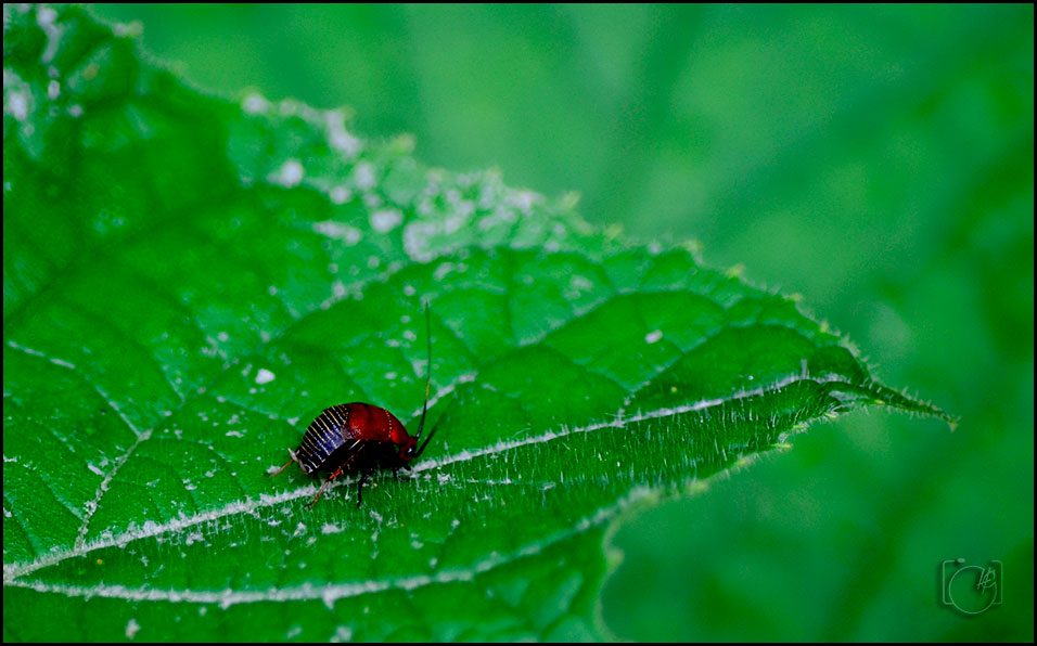 HGL-Bug-on-green-leaf-2
