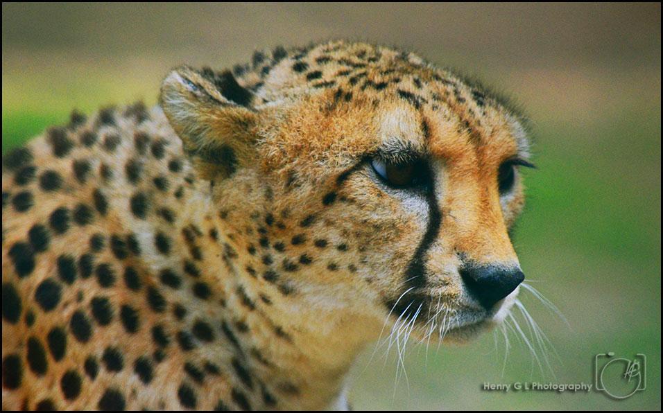 HGL-Cheetah