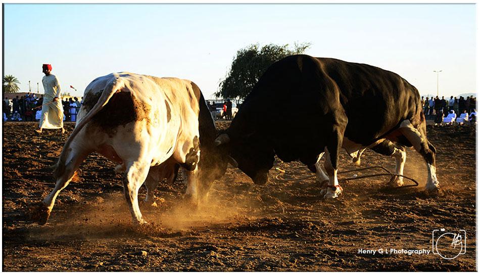 HGL-Bull-Fight