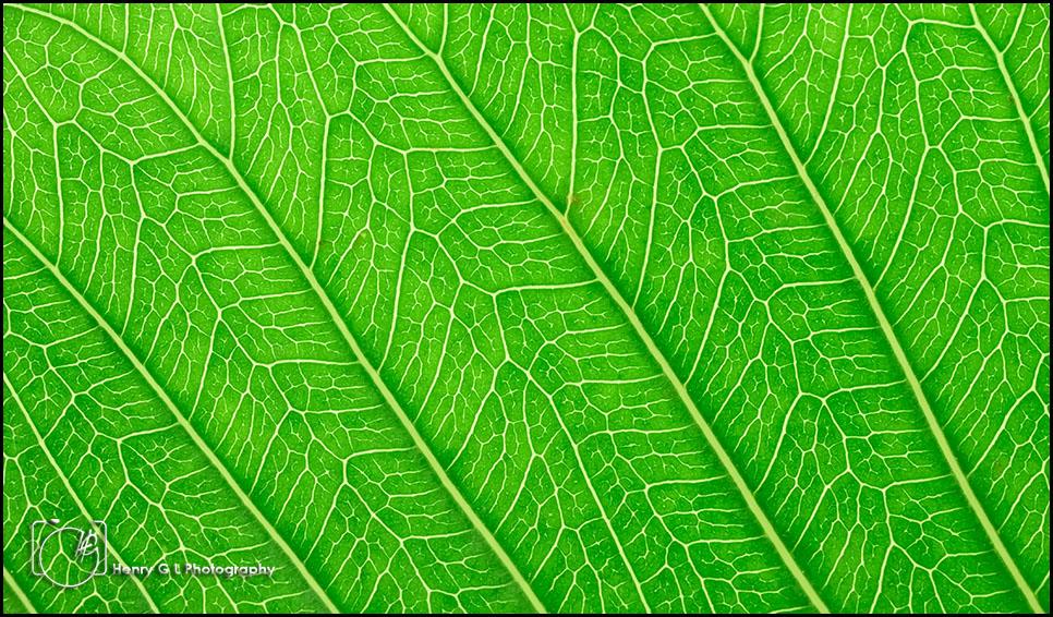 HGL Green Leaf 2
