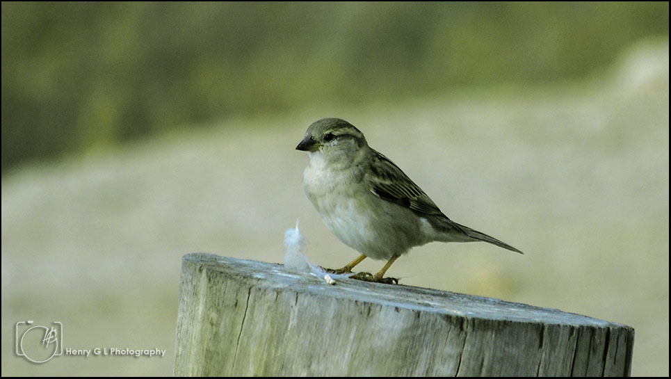 HGL Small Birdy