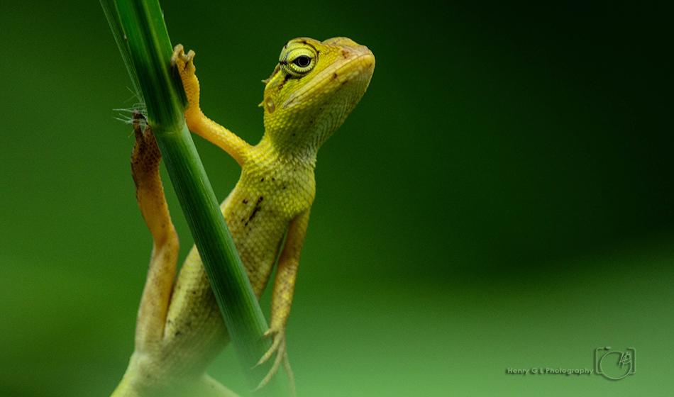 HGL Lizard