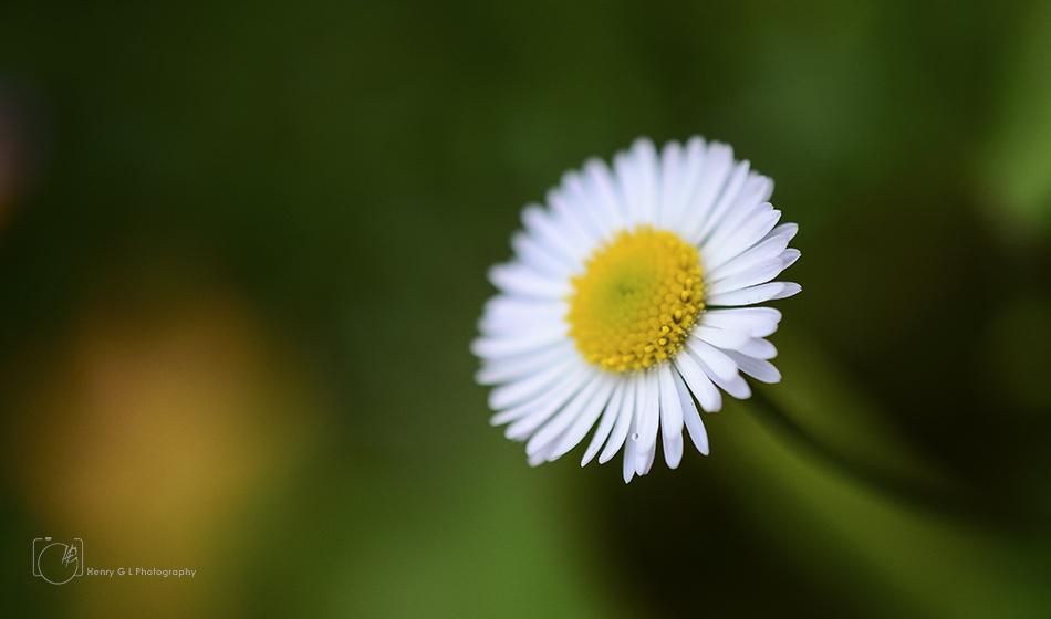 HGL Daisy