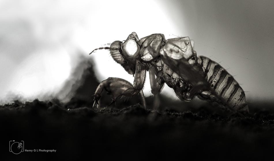 HGL Wasp Death