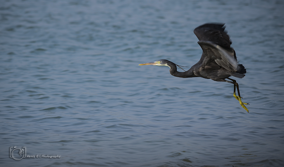 HGL Blue heron flight
