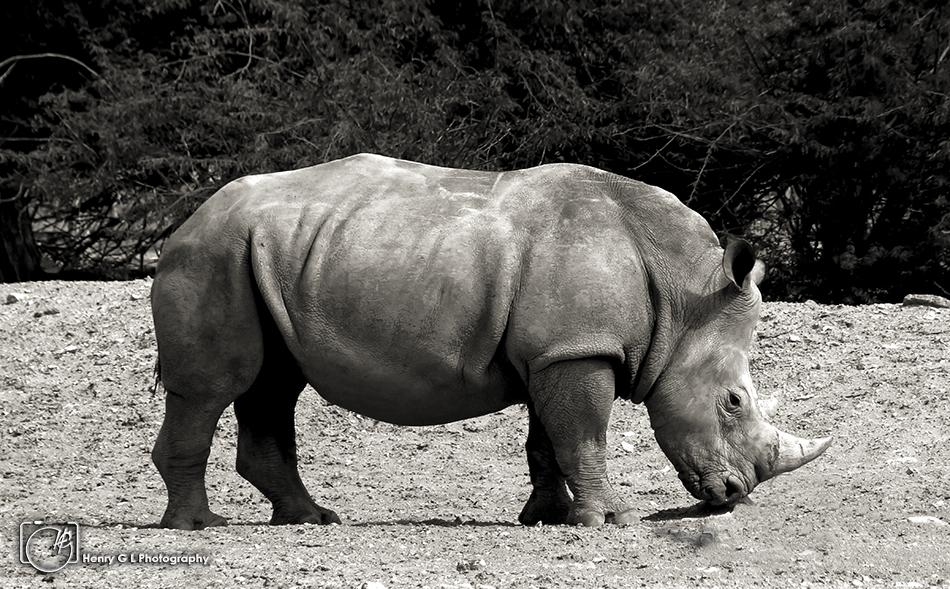 HGL Rhino BW