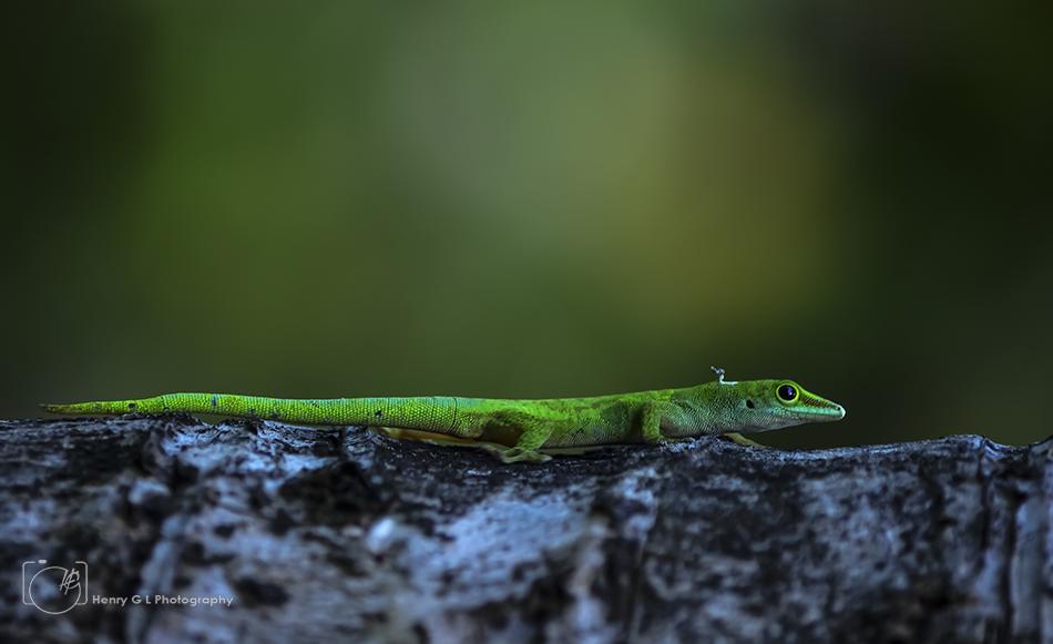 HGL Green Anole Lizard