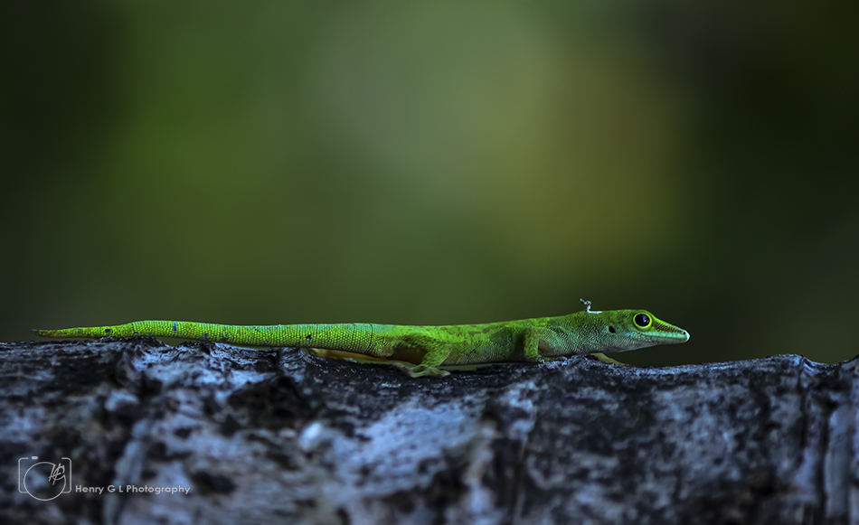 HGL Green Anole Lizard