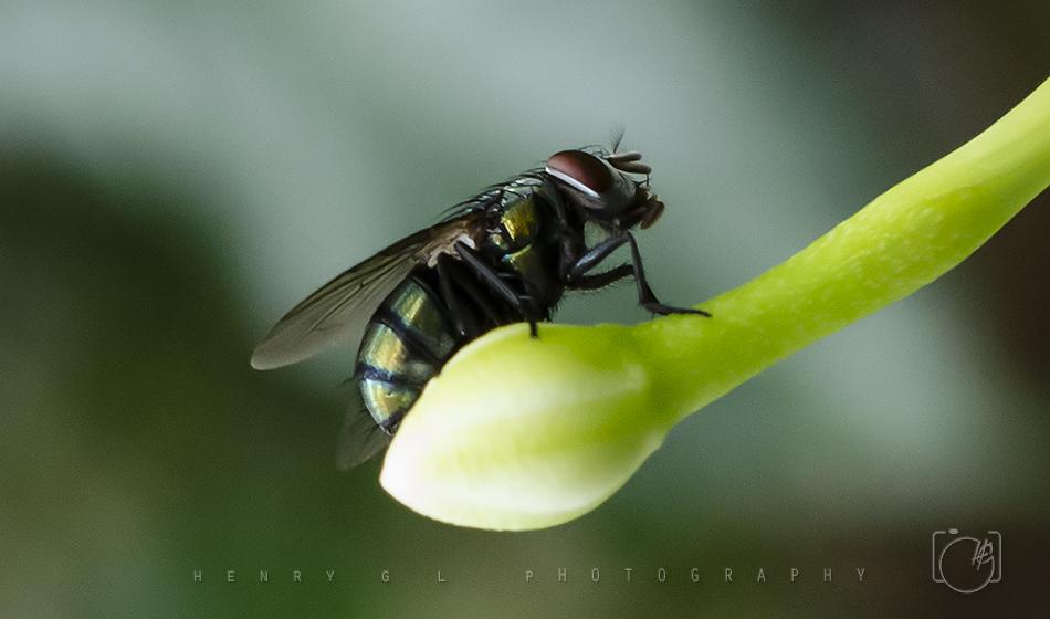 HGL Fly